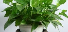 绿萝的养殖方法有哪些?