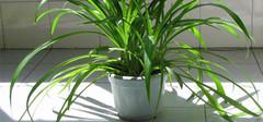 净化空气的室内植物排名介绍