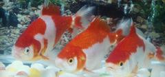 草金鱼入门品种,生活习性详解!