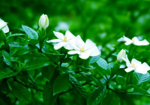 栀子花的养殖方法