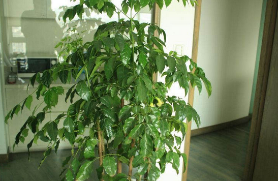 幸福树,幸福树的养殖方法