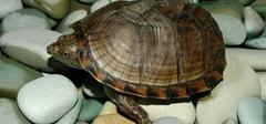 乌龟怎么分公母,其辨别方法是什么?