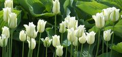 郁金香的养殖方法有哪些?