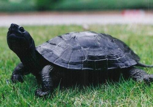 乌龟怎么分公母