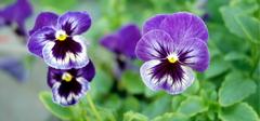 三色堇的种植方法有哪些?
