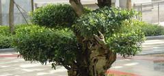榕树盆景怎么养,榕树的养殖方法