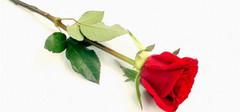 一朵玫瑰花代表什么,你了解吗?