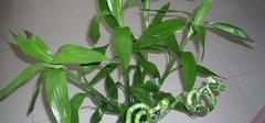 冬天富贵竹怎么养?