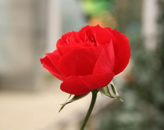 一朵玫瑰花代表什么