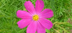 波斯菊种子是如何种植的?