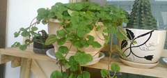 吸毒草的养殖方法有哪些?
