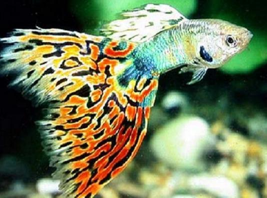 凤尾鱼生活习性须知