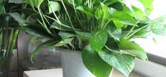 绿萝的养殖方法和注意事项,你知道吗