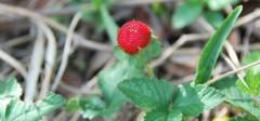 蛇莓的功效与作用有哪些?