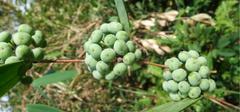 土茯苓的功效与作用是什么?