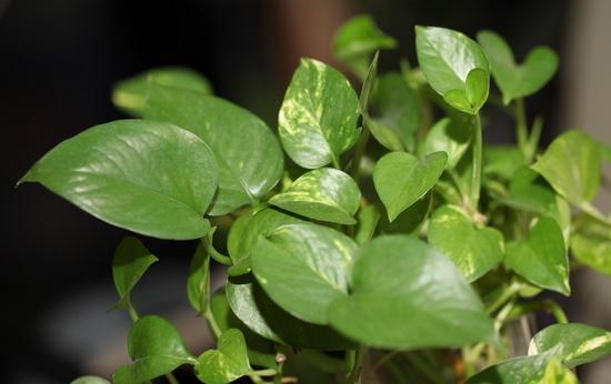 绿萝,绿萝的养殖方法