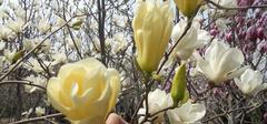 白兰花养殖,兰花怎么养?