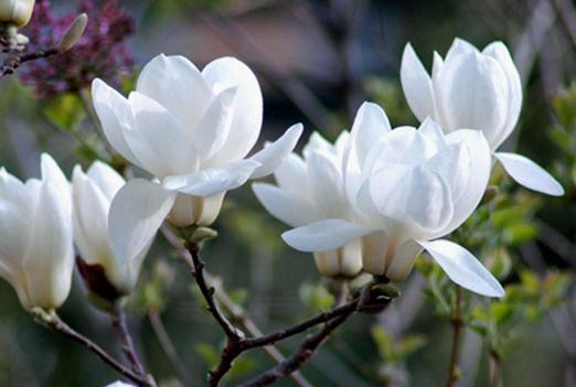 白兰花养殖