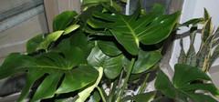龟背竹的常见虫害以及治疗方法