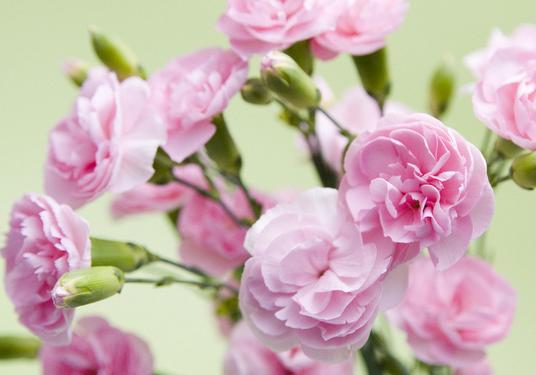 百合的花语是什么