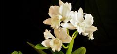 兰花怎么养,兰花的养殖方法介绍