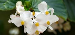 秋海棠的养殖方法,秋海棠花语