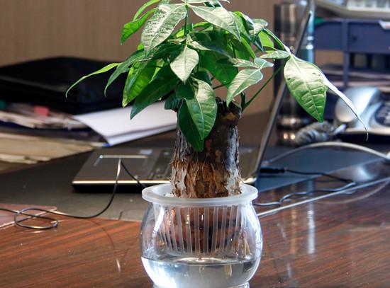 发财树的养殖方法