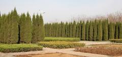 松柏树的价格以及盆景价格介绍