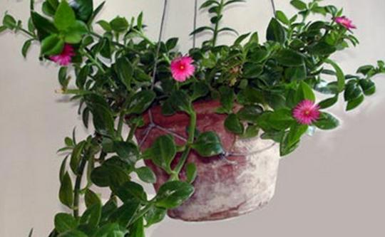 家居风水植物,家居风水
