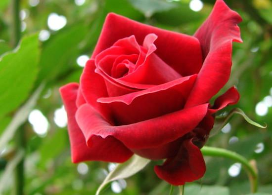 11朵玫瑰