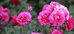 11朵玫瑰的花语,不同颜色的花语是什么