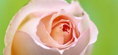 香槟玫瑰的花语,香槟玫瑰枝数的含义