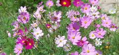 波斯菊的种植方法有哪些?