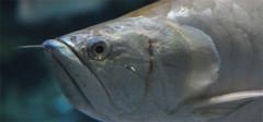养护银龙鱼的风水讲究