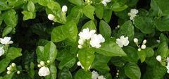 浅析茉莉花的养殖方法