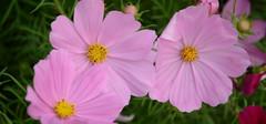 波斯菊的花语,波斯菊什么时候开花?