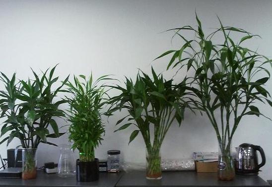 水养富贵竹