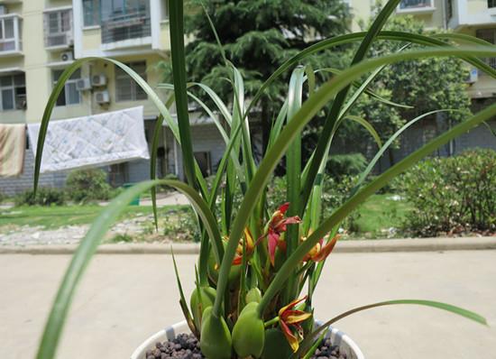 兰花的品种介绍,兰花的图片欣赏