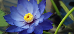 睡莲的种植方法以及种植季节