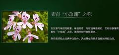 天竺葵精油的作用以及使用注意事项