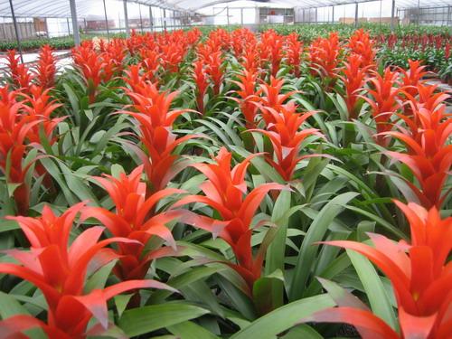 凤梨花的养殖方法