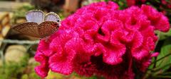 鸡冠花的栽培要点有哪些?