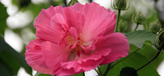 木芙蓉的生长习性以及养殖方法