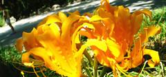彼岸花的花语,彼岸花的图片欣赏