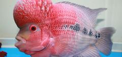 罗汉鱼的寿命,罗汉鱼能活多久?