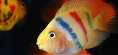 鹦鹉鱼变白的原因以及解决方法