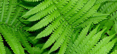 蕨类植物真的有净化空气的作用吗?