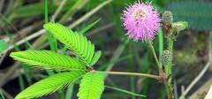 含羞草怎么养,含羞草为什么会害羞?
