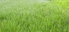 乌拉草是什么,乌拉草的作用