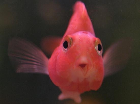 鹦鹉鱼变白